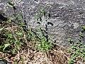 Arenaria serpyllifolia (8490447112).jpg