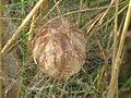 Argiope bruennichi (wasp spider) cocoon - eggsack, Arnhem, the Netherlands.jpg