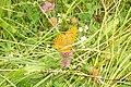 Argynnis paphia (Heiterwanger See) (15183642124).jpg