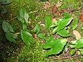 Arisarum proboscideum (leaves).jpg