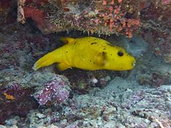 Golden pufferfish Arothron meleagris, yellow version