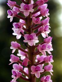 Arpophyllum spicatum Orchi 022.jpg