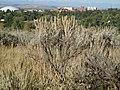 Artemisia tridentata vaseyana (5018427426).jpg