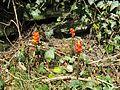 Arum maculatum (Cuckoo Pint) - Flickr - S. Rae.jpg