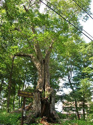Ashford, Connecticut - Ashford Oak