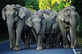 Asian Elephants, Elephas maximus in Khao Yai national park (25421949020).jpg