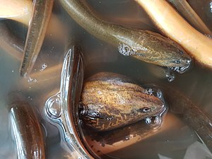 Asian swamp eel - Close-up of the heads of Asian swamp eels from Mindanao, Philippines