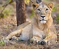 Asiatic Lioness in Gir Forest 2.jpg