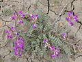 Astragalus missouriensis.jpg
