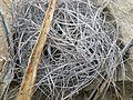 Astrophytum capricorne (5669444298).jpg