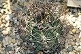 Astrophytum capricorne 1zz.jpg