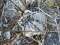 Astrophytum myriostigma (5699294647).jpg