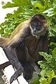 Ateles geoffroyi Black-handed Spider Monkey.jpg