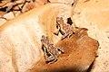 Atelopus spumarius02b.jpeg