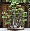 Bonsai Form