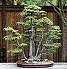 Bonsai Form