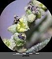 Atriplex oblongifolia sl35.jpg