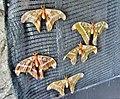 Attacus Atlas , Papillon Cobra - panoramio.jpg