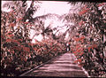 Avenue of Poinsettias in Madeira, by Sarah Angelina Acland, c.1910.jpg