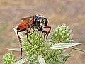 Avispa escabadora - esfécidos (Sphecidae) (14712421933).jpg