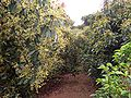 Avocado orchard 02.JPG