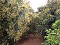 Avocado orchard 02.JPG