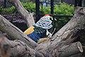 Ayam Hias Lady Amherst's Pheasant.jpg