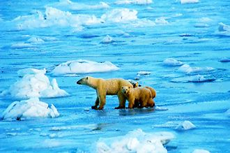 Churchill, Manitoba - Polar bears on the ice
