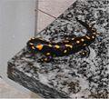 BG-Ranzanico-salamandra-01.jpg