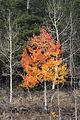 BOULDER MT, GARFIELD COUNTY, UT - 2016-09-30 fall color (12) (30341412071).jpg