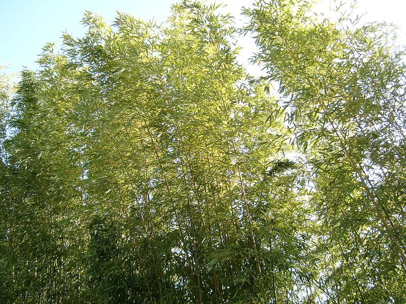 A bamboo blossom in Genay, France.