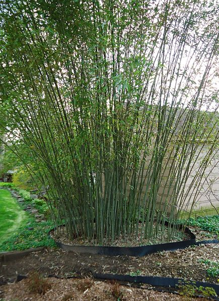 File:Bamboo growing in backyard of New Jersey gardener springtime.JPG