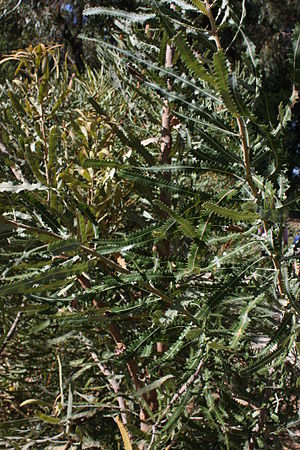 Banksia prionotes - Foliage of B. menziesii × prionotes, in cultivation, Kings Park, Perth, Western Australia