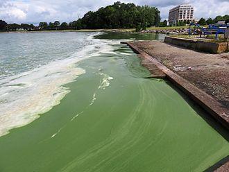 Harmful algal bloom - Algae on the coast of northern Germany
