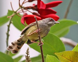 Bar-winged Prinia (Prinia familiaris) 3.jpg
