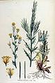 Barbarea praecox — Flora Batava — Volume v15.jpg
