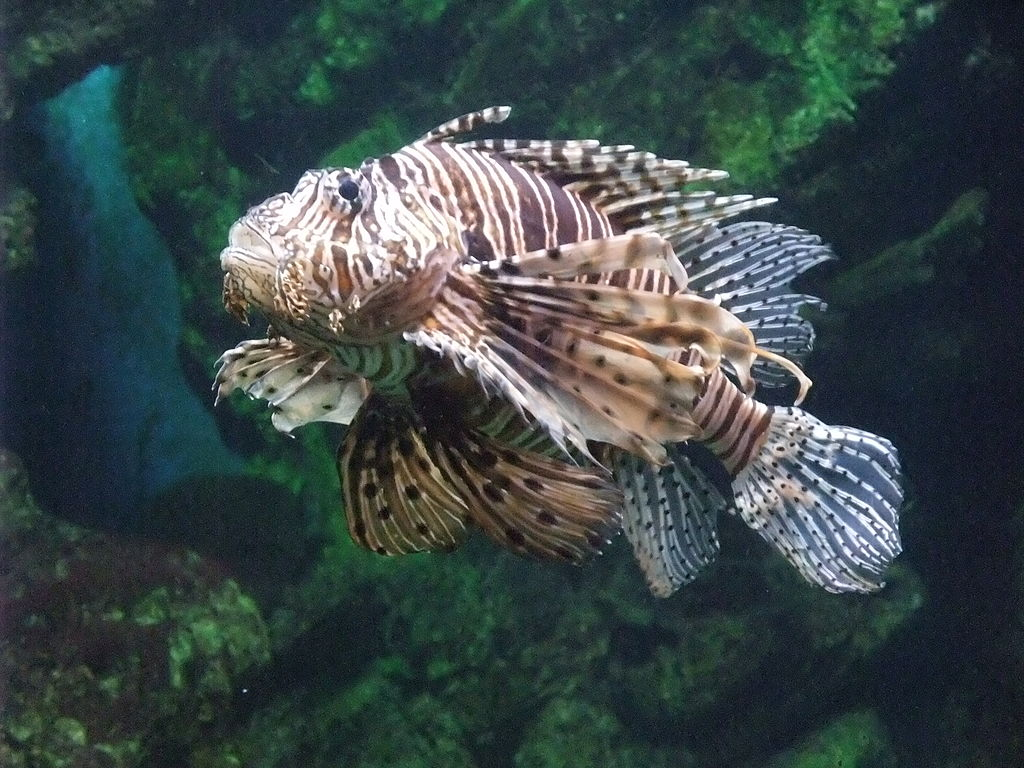 Barcelona-L'Aquarium-Pez escorpión (Pterois volitans).jpg