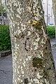 Bark of Platanus x hispanica.jpg