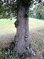 Bark of unidentified Ulmus cultivar. Duncan Place, Edinburgh.jpg