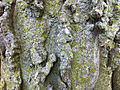 Bark on a tree at the Genevieve Green Gardens at the Ewing Cultural Center.jpg