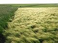 Barley, Chaldon Herring - geograph.org.uk - 848218.jpg