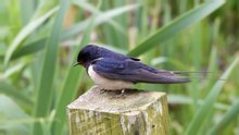File:Barn Swallow - Hirundo rustica.ogv