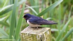 File:Barn Swallow - Hirundo rustica.ogv