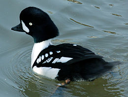 Barrows.goldeneye.male.010107.arp.jpg