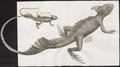Basiliscus americana - 1700-1880 - Print - Iconographia Zoologica - Special Collections University of Amsterdam - UBA01 IZ12800037.tif