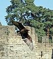Bateleur Eagle 3 (1278446554).jpg