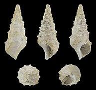 Batillaria calcitrapoides 01.jpg