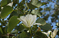 Bauhinia variegata 01352.jpg
