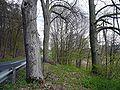 Baumgruppe bei Nickersfelden.jpg
