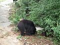 Bear - Melursus ursinus at Bannerghatta National Park 8453.JPG